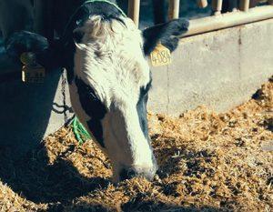 یک روز با گاوها در دامداری!